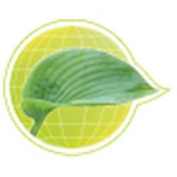 Funkie - Szkółka roślin